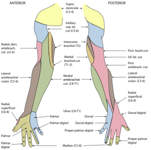 null at https://www.openanesthesia.org/wp-content/uploads/2015/03/upperinnervation-300x298.png